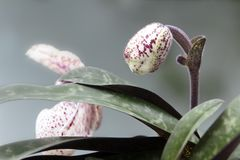Paphiopedilum godefroyae. Paphiopedilum orchid flower or Lady`s Slipper orchid, The flowers of which has a lip that is a conspicu. Paphiopedilum godefroyae stock image