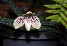 Paphiopedilum godefroyae. Paphiopedilum orchid flower or Lady`s Slipper orchid, The flowers of which has a lip that is a. Conspicuous slipper-shaped pouch royalty free stock photography