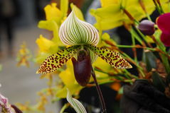 Paphiopedilum green white orchid flower Stock Photos