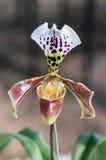 Paphiopedilum Leeanum d'orchidée de pantoufle Image stock