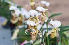 Paphiopedilum Leeanum d'orchidée de pantoufle Photographie stock