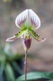 Paphiopedilum Leeanum d'orchidée de pantoufle Photos stock
