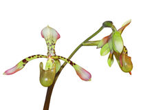 Paphiopedilum lowii Stock Photography
