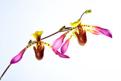 Paphiopedilum lowii. And potted orchids stock photo