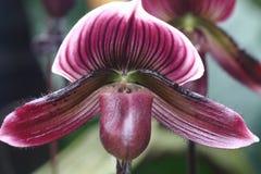 Paphiopedilum Maudiae Red 2. Paphiopedilum Maudiae Red orchid in full bloom Royalty Free Stock Photos