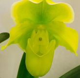 Paphiopedilum  Miaohua Golden Venus Stock Photo