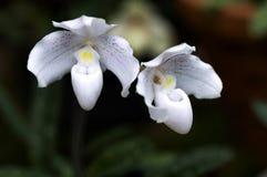 Paphiopedilum niveum jest paphiopedilum storczykowym kwiatem lub damy ` s Sl Fotografia Stock