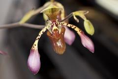 Paphiopedilum orchid Royalty Free Stock Photos