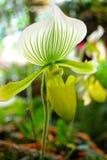Paphiopedilum orchid Stock Photos