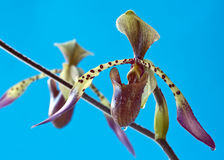 Paphiopedilum Orchid Stock Photography