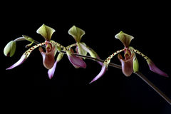 Paphiopedilum Orchid. In panoramic on black background in studio royalty free stock photos