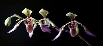 Paphiopedilum Orchid Stock Images