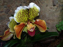 Paphiopedilum orchid against rock background. Paphiopedilum is a family of orchids containing about 80 different species. They are referred to as paphs. Togheter Stock Photos