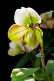 Paphiopedilum Orchid. Stock Photos