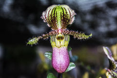 Paphiopedilum orchid. Royalty Free Stock Image