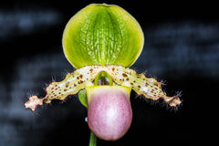 Paphiopedilum orchid. Stock Image