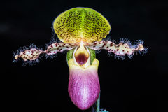 Paphiopedilum orchid. Royalty Free Stock Photo