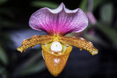 Paphiopedilum orchid. Royalty Free Stock Images