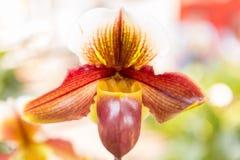 Paphiopedilum orchid. Beautiful Paphiopedilum orchid in Thailand,Close up of beautiful orchid Stock Image