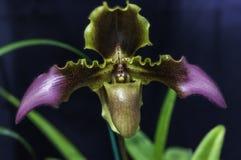 Paphiopedilum Orchid. Close up of Paphiopedilum orchid on blue background Stock Images