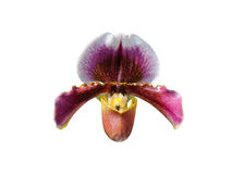 Paphiopedilum orchid flower Stock Images