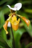 Paphiopedilum orchid. A Paphiopedilum orchid flower in the garden Royalty Free Stock Photos