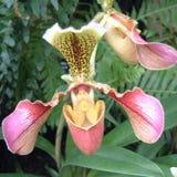 Paphiopedilum orchid flower stock photos
