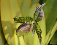 Paphiopedilum Orchid Hybrid Royalty Free Stock Image