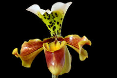 Paphiopedilum orchid (Lady's slipper) on black Royalty Free Stock Photos