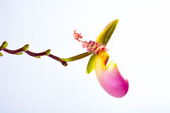 Paphiopedilum orchid Royalty Free Stock Photo
