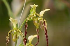 Paphiopedilum Orchid ,Paphiopedilum parishii wild orchid Stock Photo