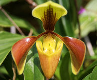 Paphiopedilum Royalty Free Stock Photos