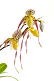 Paphiopedilum orchid Royalty Free Stock Photography