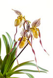 Paphiopedilum orchid Stock Photos