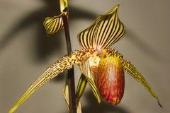 Paphiopedilum orchidea Fotografia Royalty Free