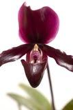 Paphiopedilum orchidea zdjęcie stock