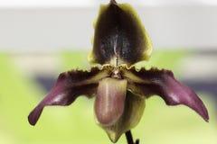 Paphiopedilum, orchidea Fotografie Stock Libere da Diritti