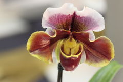 Paphiopedilum, orchidea Obrazy Royalty Free