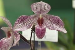 Paphiopedilum, orchidea Zdjęcia Stock
