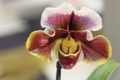 Paphiopedilum, Orchidee Lizenzfreie Stockbilder