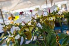 Paphiopedilum, Orchideebloem in de tuin, aardachtergrond of behang Stock Foto's