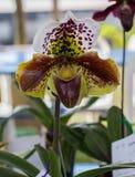 Paphiopedilum, Orchideebloem in de tuin, aardachtergrond of behang Royalty-vrije Stock Foto's