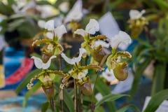 Paphiopedilum, Orchideebloem in de tuin, aardachtergrond of behang Stock Afbeeldingen