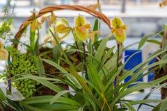 Paphiopedilum, Orchideebloem in de tuin, aardachtergrond of behang Stock Afbeelding