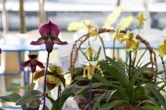 Paphiopedilum, Orchideebloem in de tuin, aardachtergrond of behang Royalty-vrije Stock Afbeelding