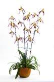 Paphiopedilum orchids flower. Stock Images