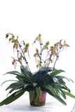 Paphiopedilum orchids flower. Royalty Free Stock Photos
