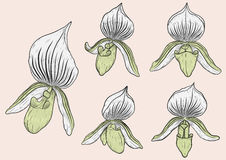Paphiopedilum orchids set by hand drawing. Stock Image