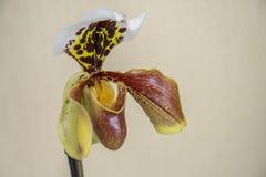 Paphiopedilum orhidee цветка, конец-вверх Paphiopedilum тапочки Венеры стоковые изображения rf