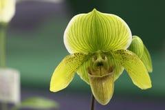 Paphiopedilum orkidé Arkivbild
